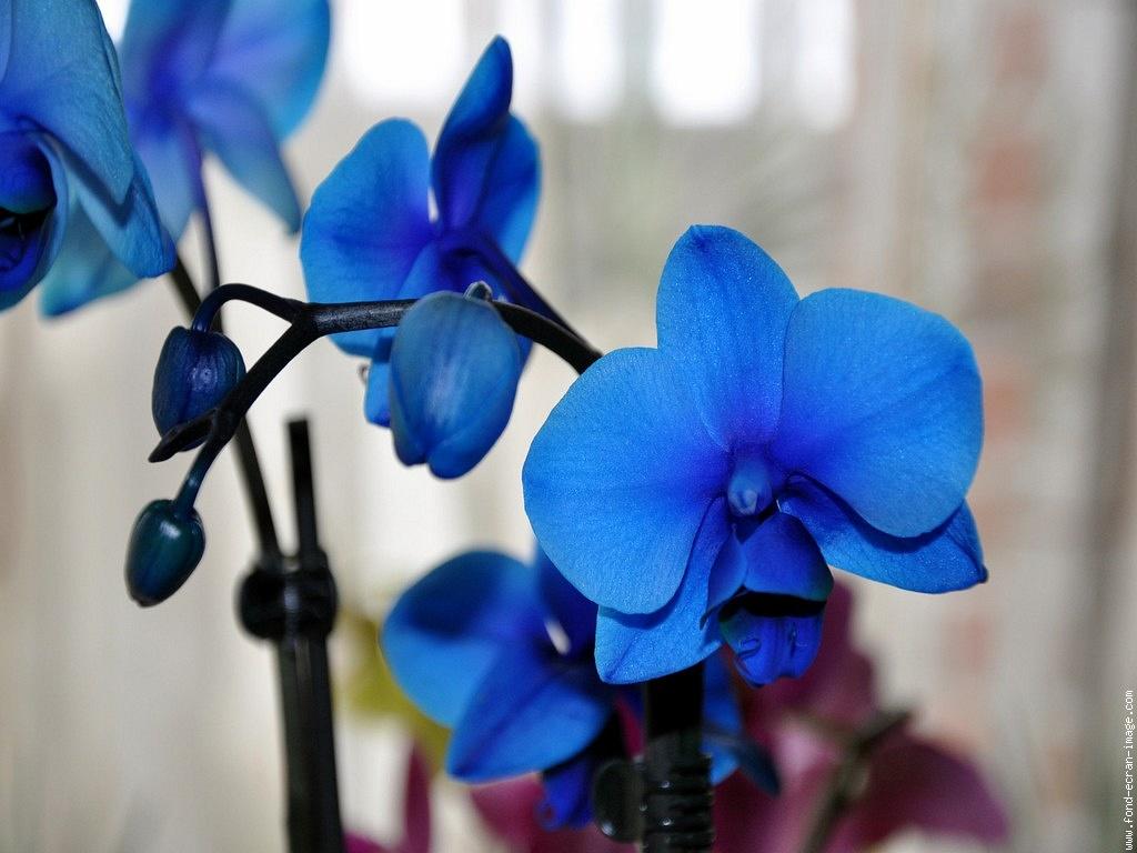 orchidee bleue comment s'en occuper